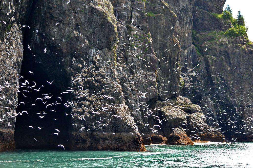 Čajky v skalných bralách nad vodou. Aljaška Kenai Fjords