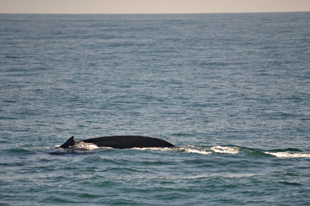 Veľryby grónske šantiace na hladine