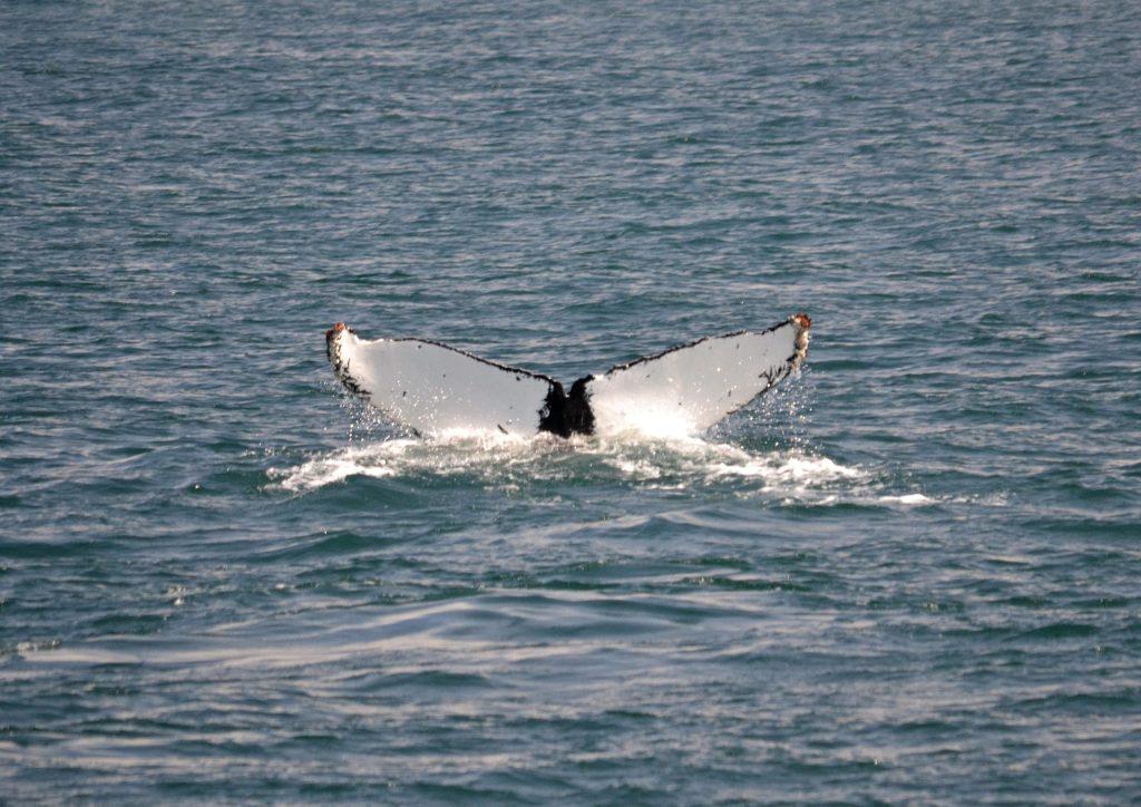 Ani jedna chvostová plutva veľryby nie je rovnaká. Nelíšia sa len odtieňom ale aj kresbou