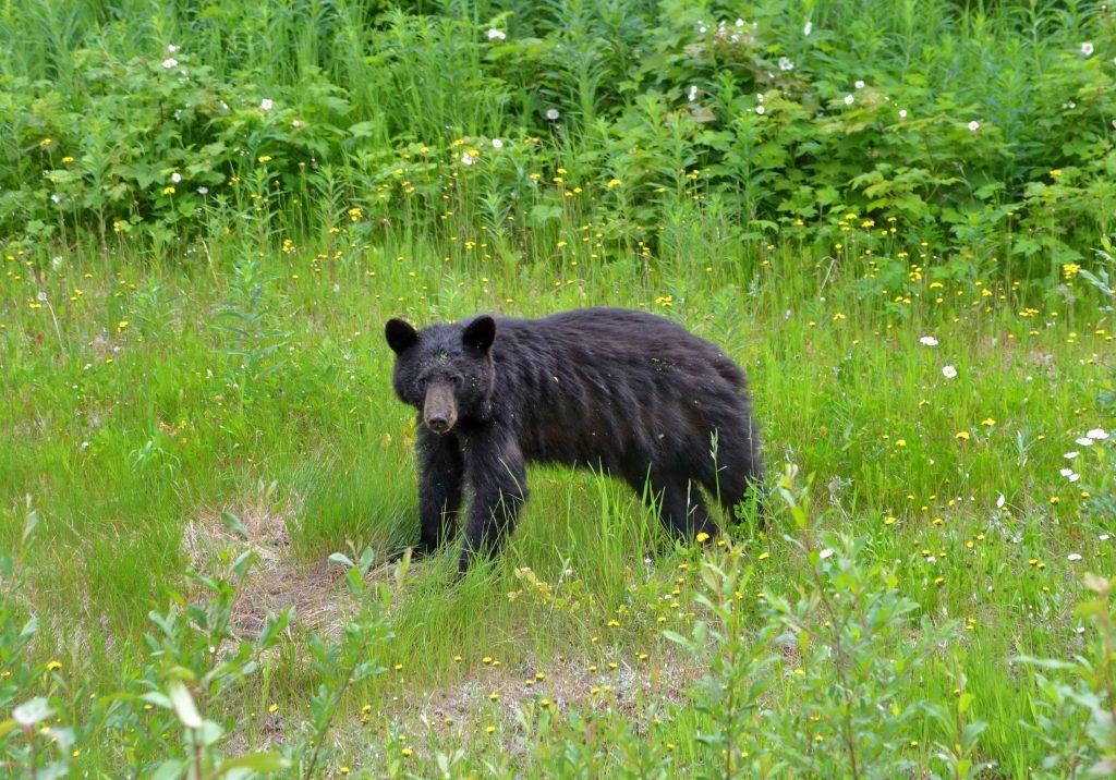 Medvede pasúce sa v pruhu vyklčovaného lesa popri ceste