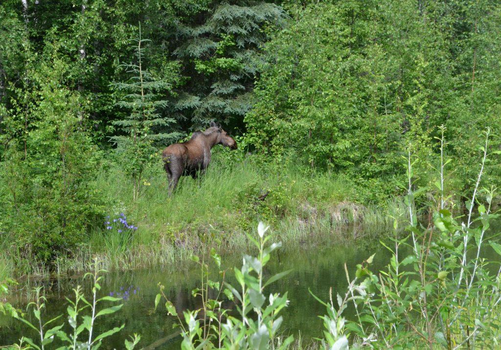 Cestou k Fairbanks stretávame hlavne losov