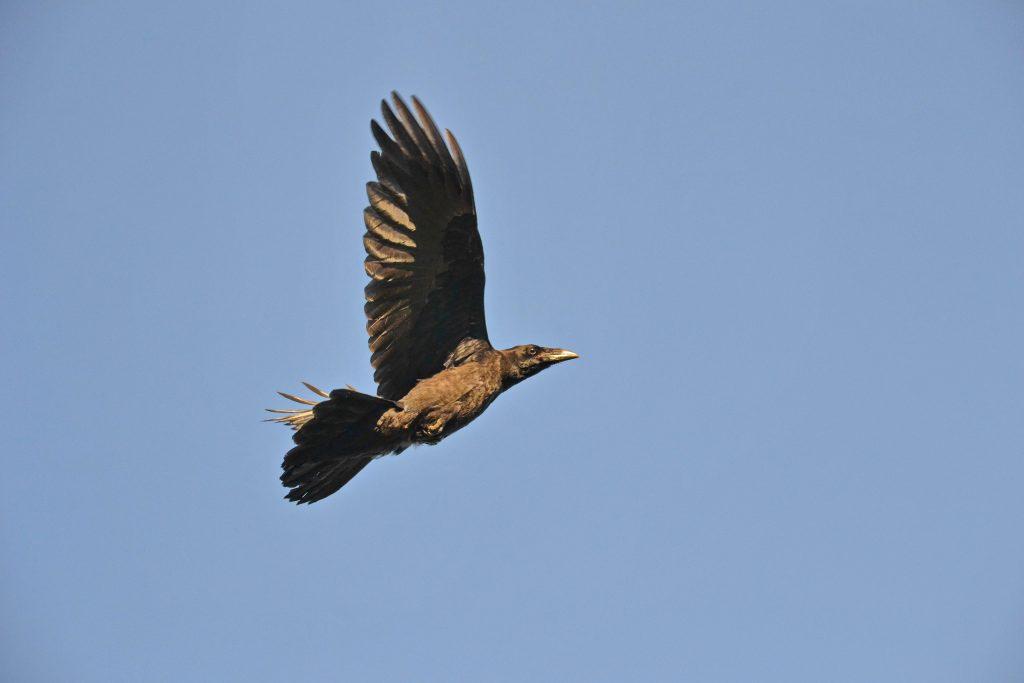 Nejaká severská vrana