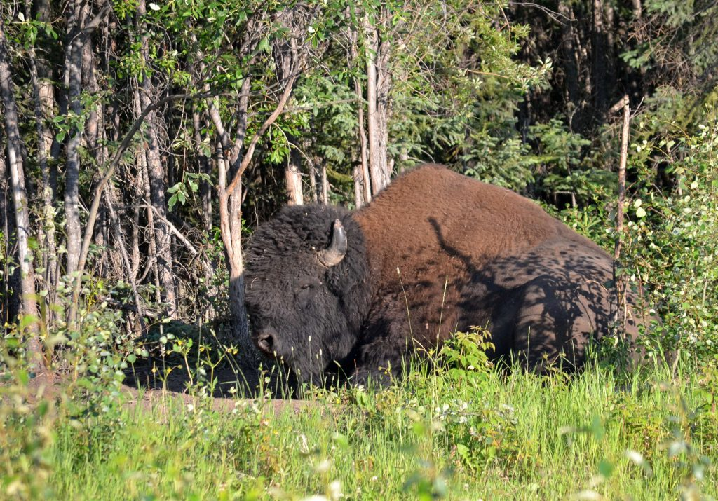 Spiaci bizón