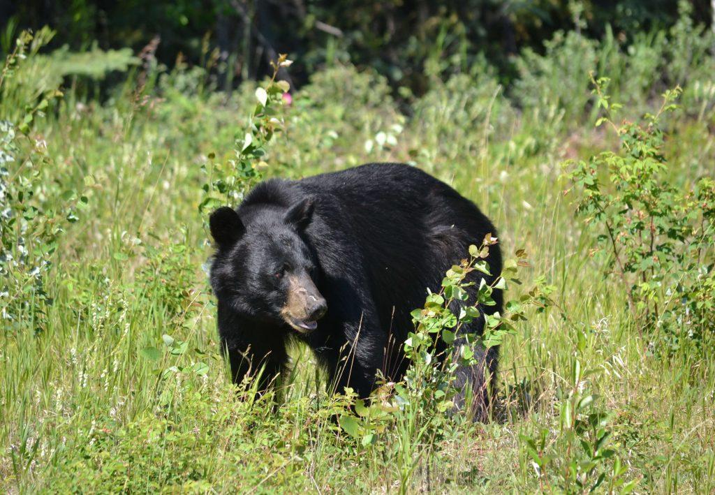 Medveď čierny. Hovoria mu aj baribal